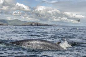 Minke whale Kenmare Bay